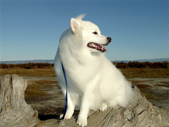 American Eskimo Dog Breed Information, Pictures, Characteristics ...