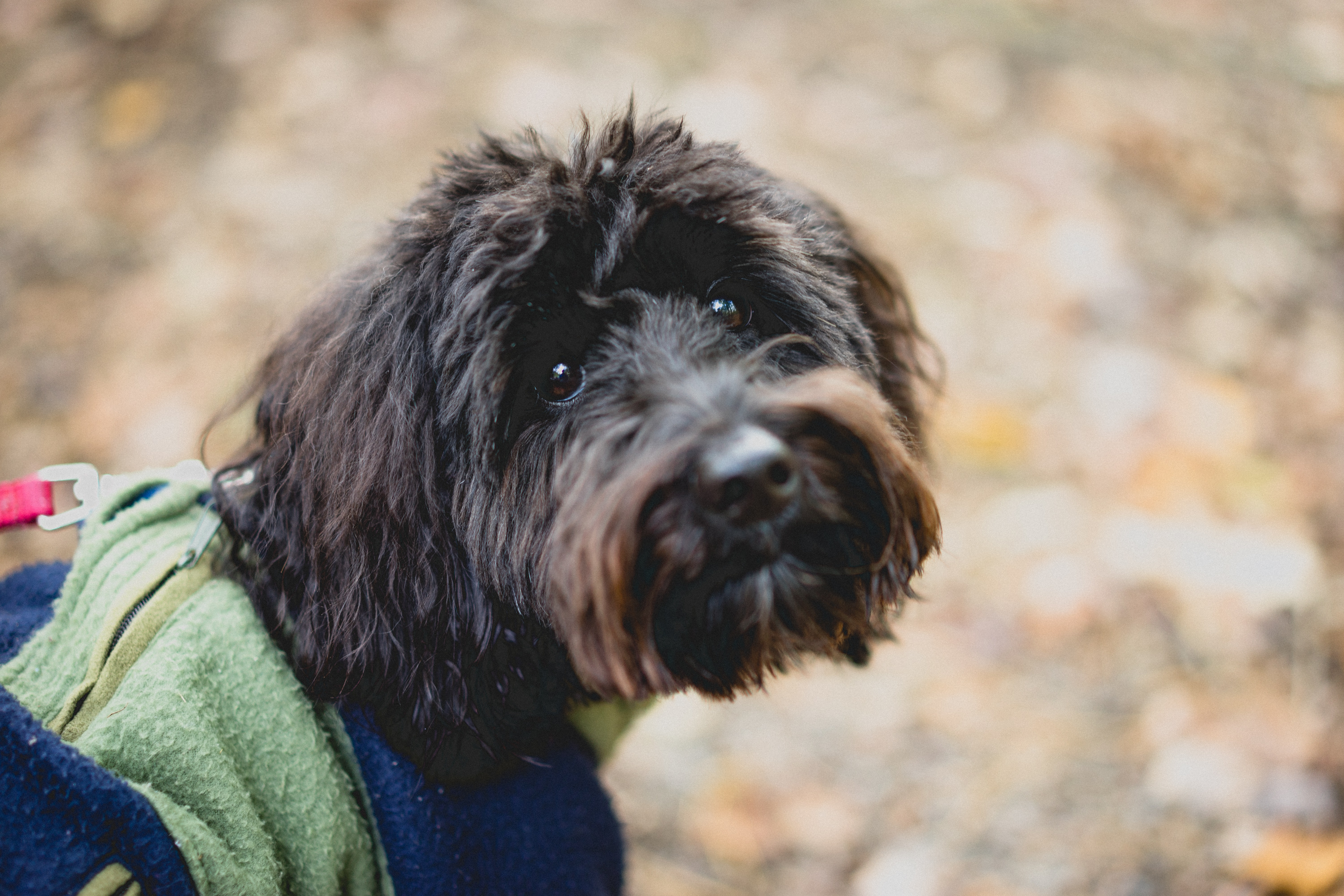 Aussiedoodle Mixed Dog Breed Pictures
