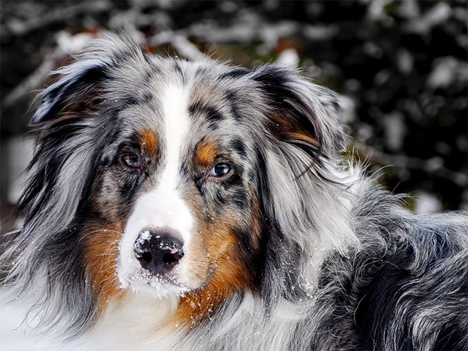 Australian Shepherd Dog Breed Information, Pictures ...