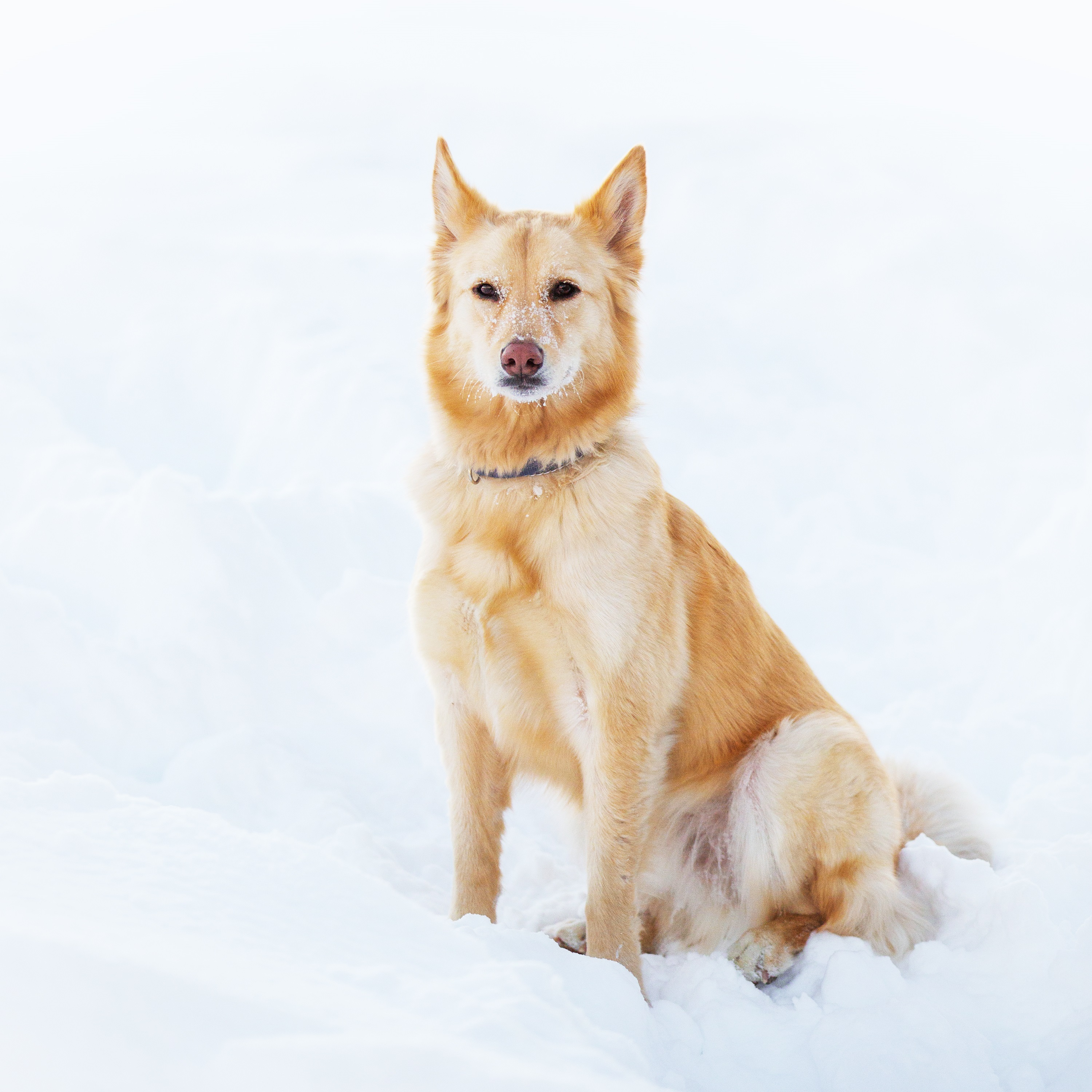 Australian Retriever Mixed Dog Breed Pictures