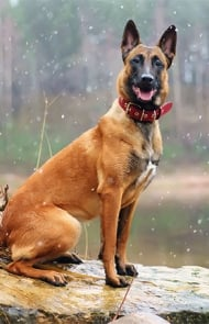 Belgain Malinois Dog Breed Picture