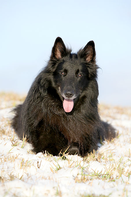 Belgian Sheepdog Dog Breed Information Pictures Characteristics