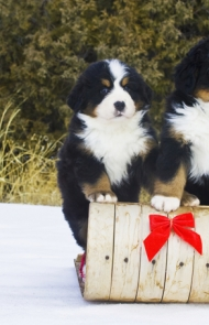 Good Bernese Mountain Dog Chubby Adorable Dog - thumbs_bernese-dogs-puppies-7  Snapshot_676817  .jpg