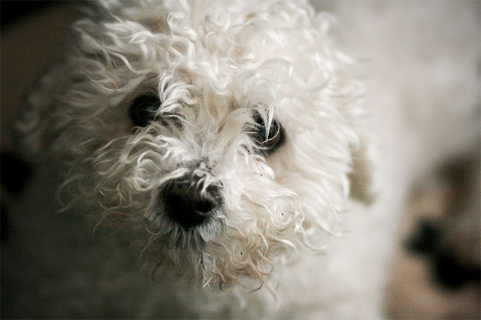 Bichon Frise Dog Breed Picture