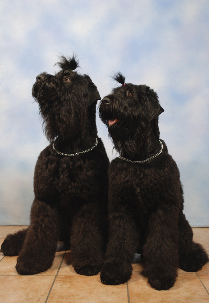 Black Russian Terrier Dog Breed Information, Pictures ...