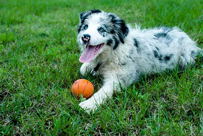 Border Collie Dog Breed Information, Pictures, Characteristics & Facts ...