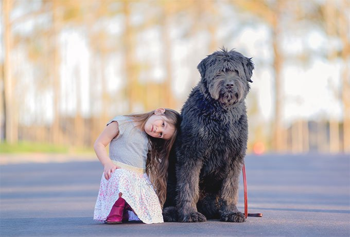 Bouvier Des Floundres Dog Breed Picture