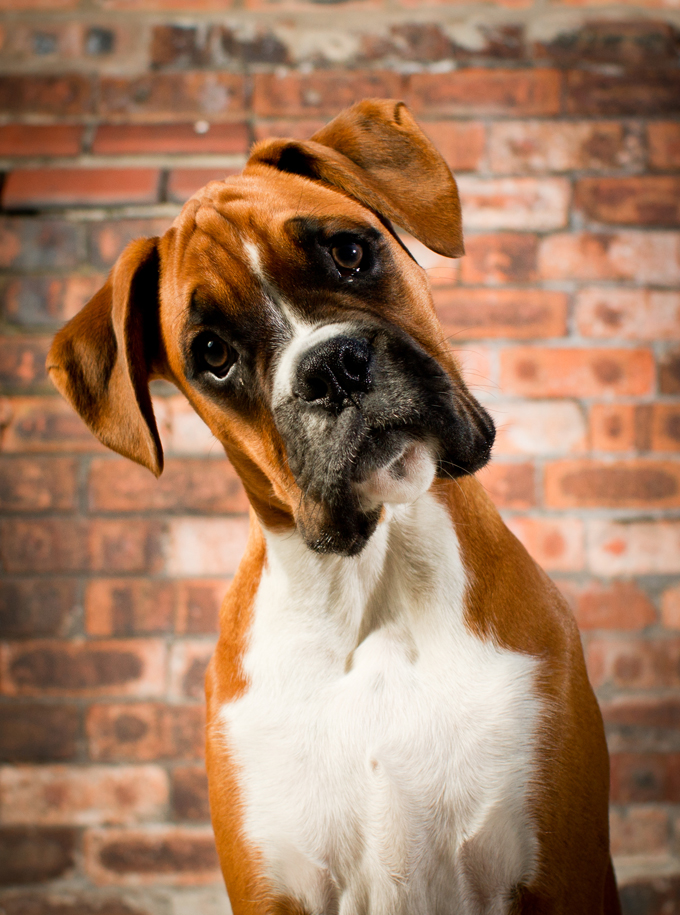 boxer dog breed information pictures characteristics facts dogtime