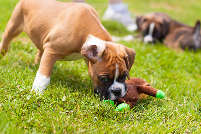 Boxer Puppies Dogtime