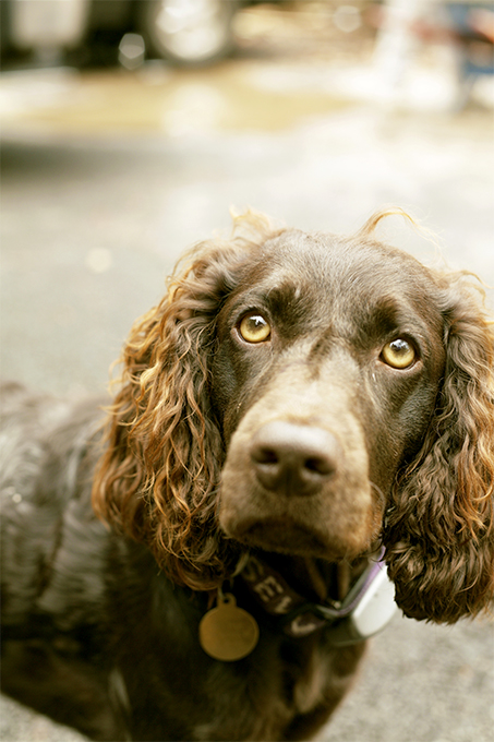 Boykin Spaniel Dog Breed Information, Pictures ... American Water Spaniel Dogtime