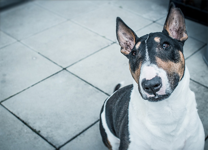 Bull Terrier Dog Breed Information, Pictures, Characteristics ...