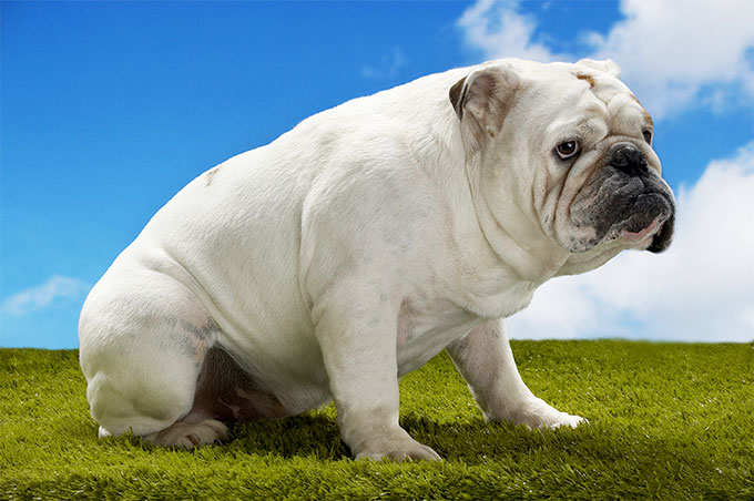 Bulldog Dog Breed Picture