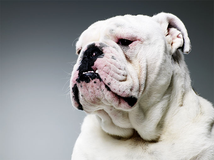 bulldog dog breed information, pictures, characteristics & facts