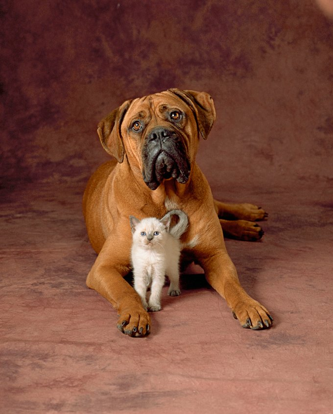 bullmastiff dog breed information pictures characteristics facts