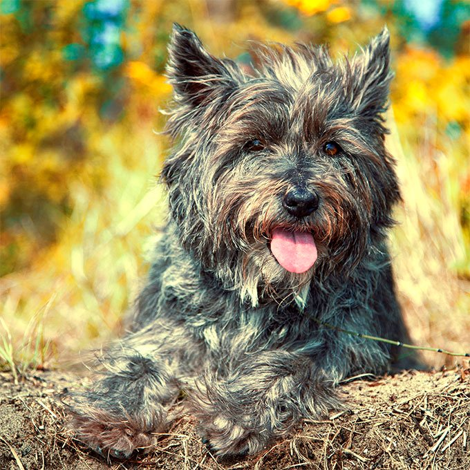 Cairn Terrier Puppies Images | Images HD Download