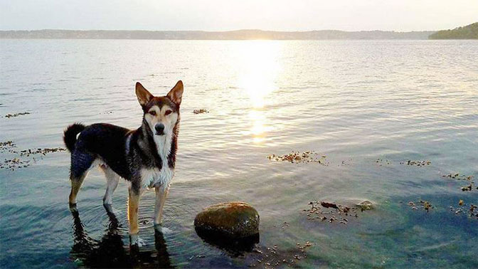 Canaan Dog Breed Picture