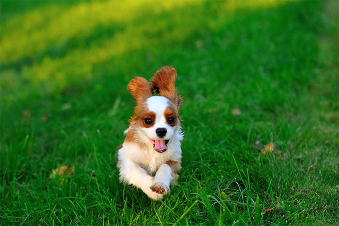 Cavalier king charles spaniel dog breed information pictures although hes born to be a companion the cavalier king charles spaniel dog breed retains the sporty nature of his spaniel ancestors thecheapjerseys Images