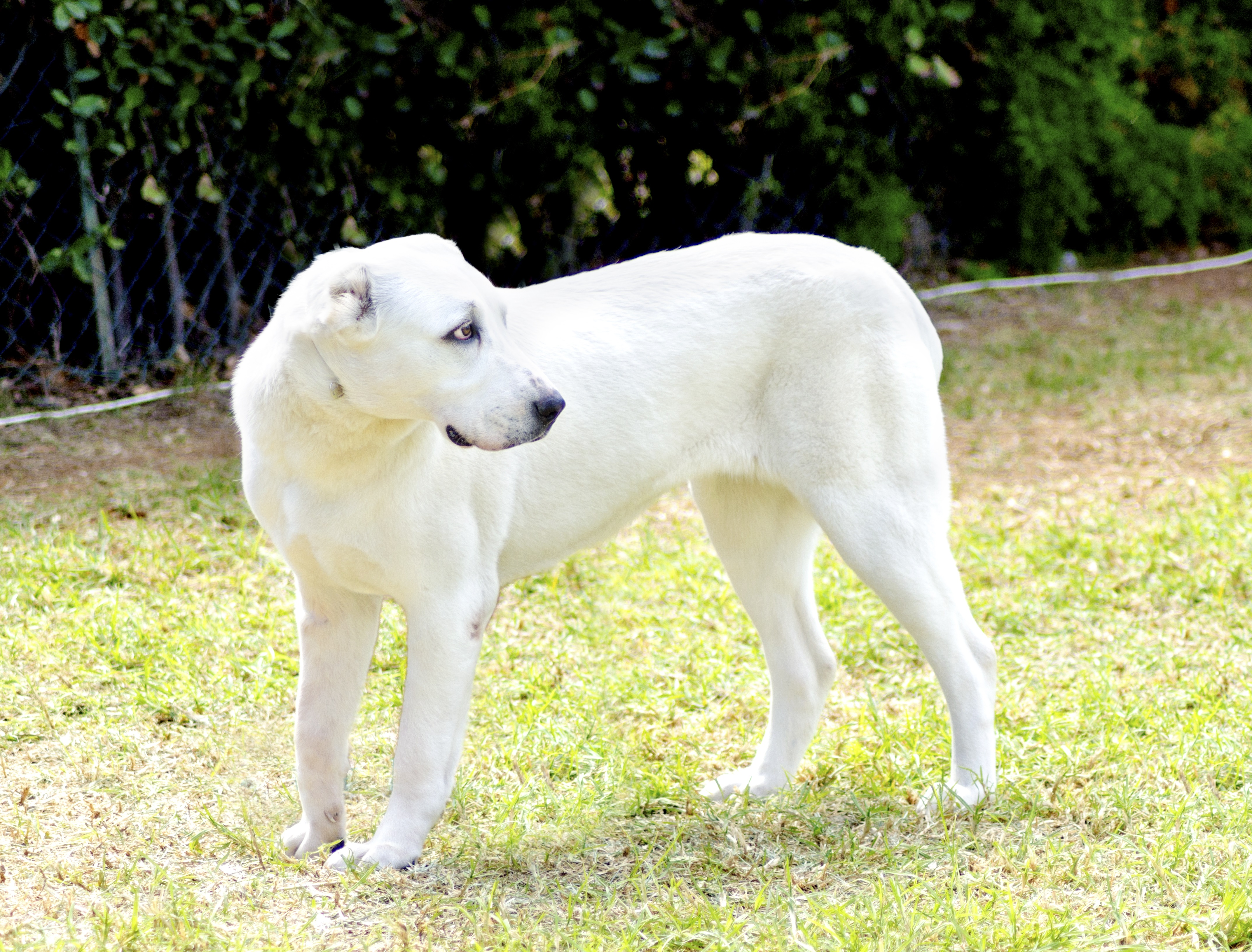 Central Asian Shepherd Dog Breed Pictures