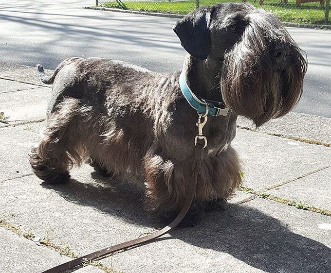 Cesky Terrier Dog Breed Picture