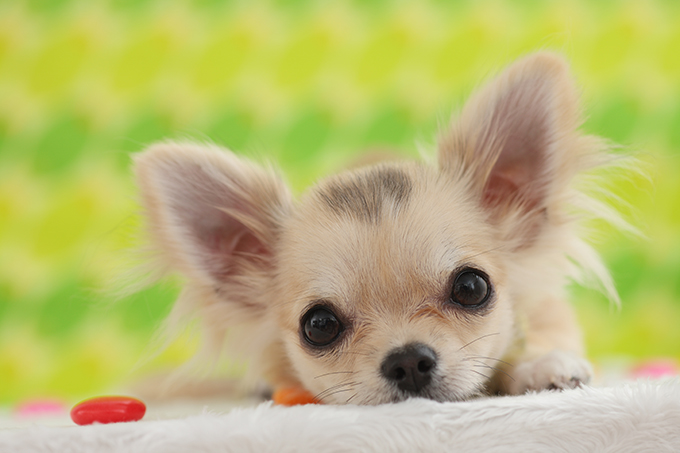 Chihuahua Puppies - Dogtime