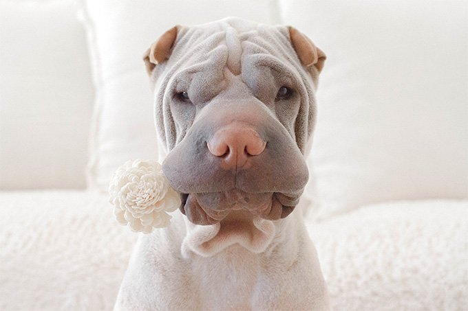 Chinese Shar Pei Dog Breed Picture