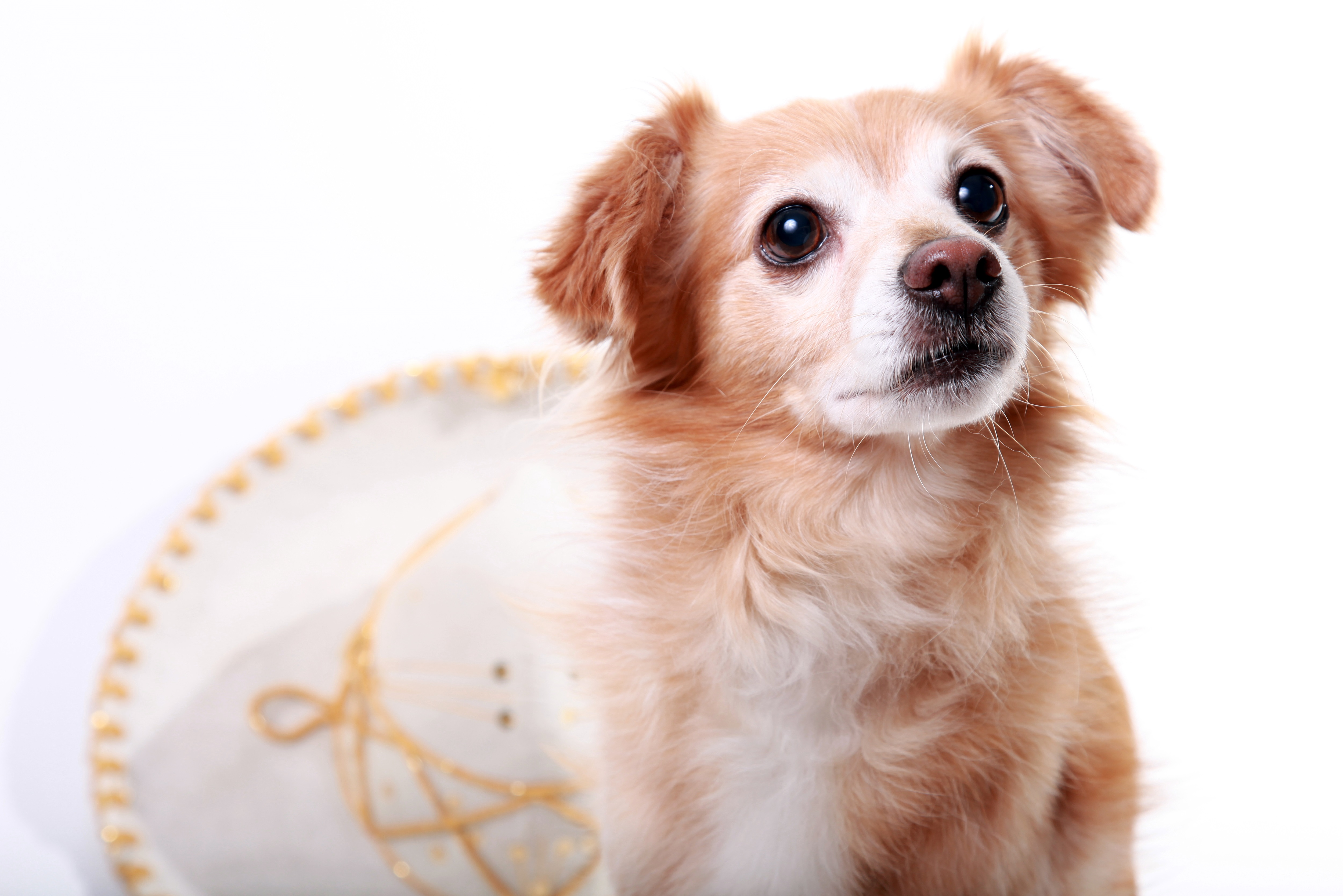Chion Mixed Dog Breed Pictures
