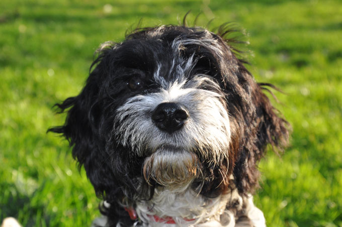 Cockapoo Dog Breed Pictures