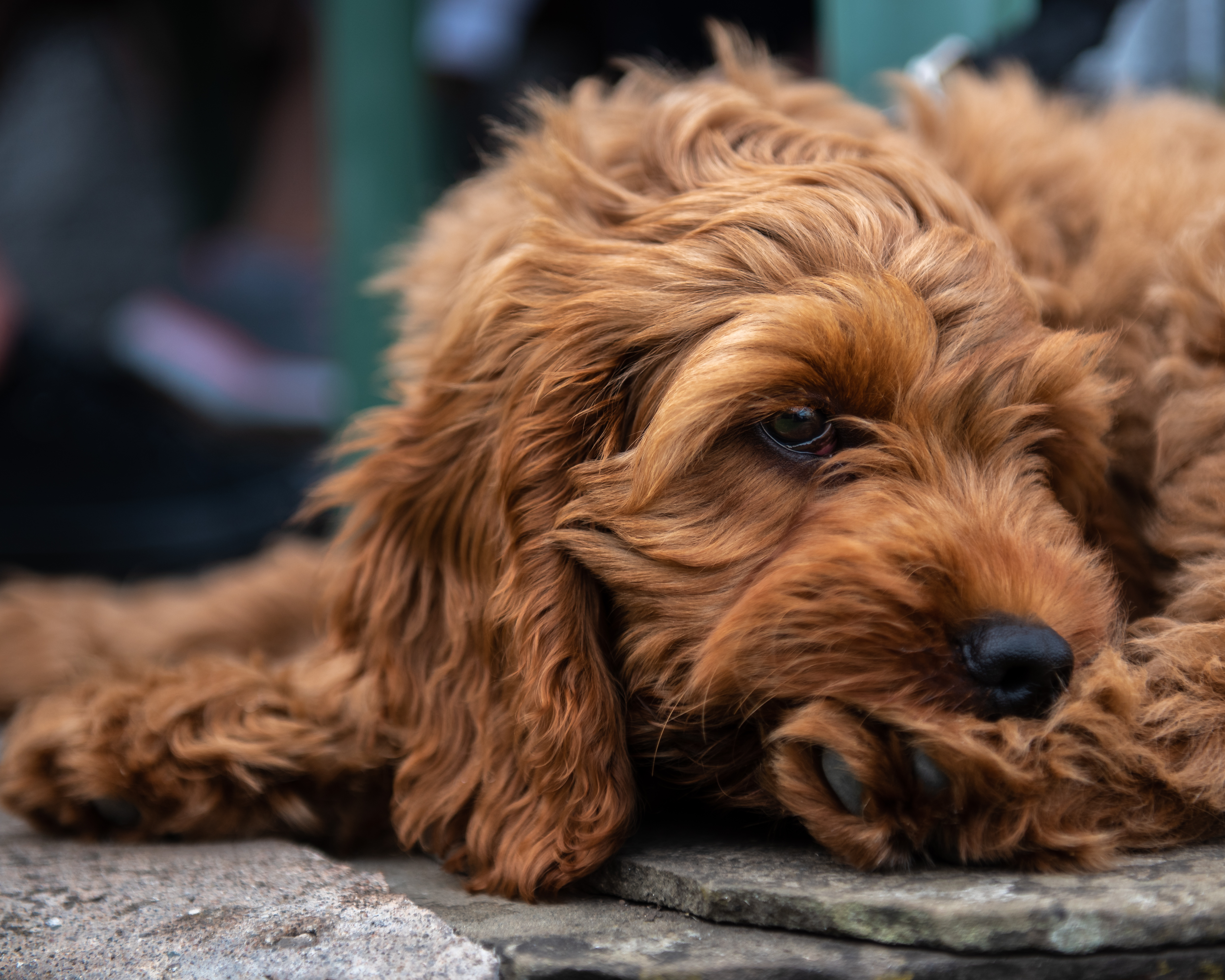 Cockapoo Puppies: Pictures And Facts - Dogtime