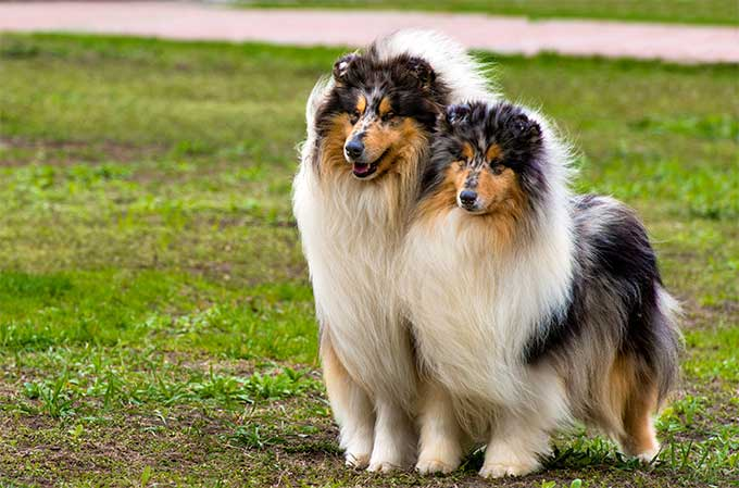 collie dog picture