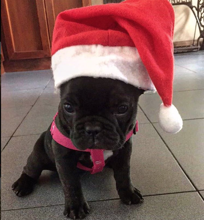 cutest christmas puppies on earth pictures dogtime