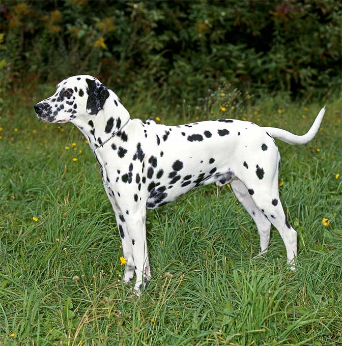 Dalmatian Dog Breed Information, Pictures, Characteristics