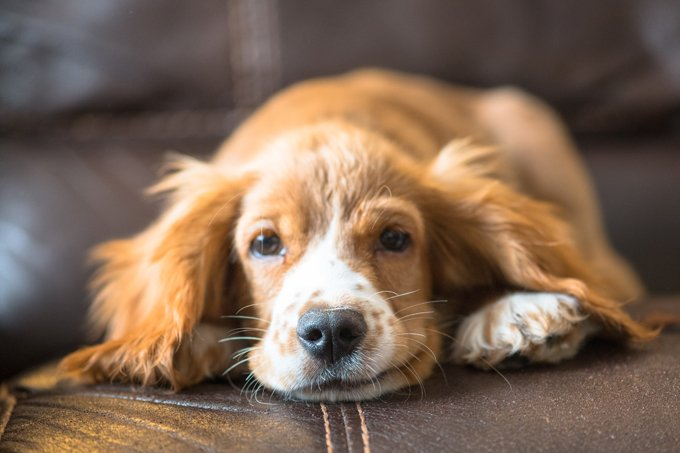 Dog Breeds Prone To Ear Infection - Dogtime American Water Spaniel Dogtime