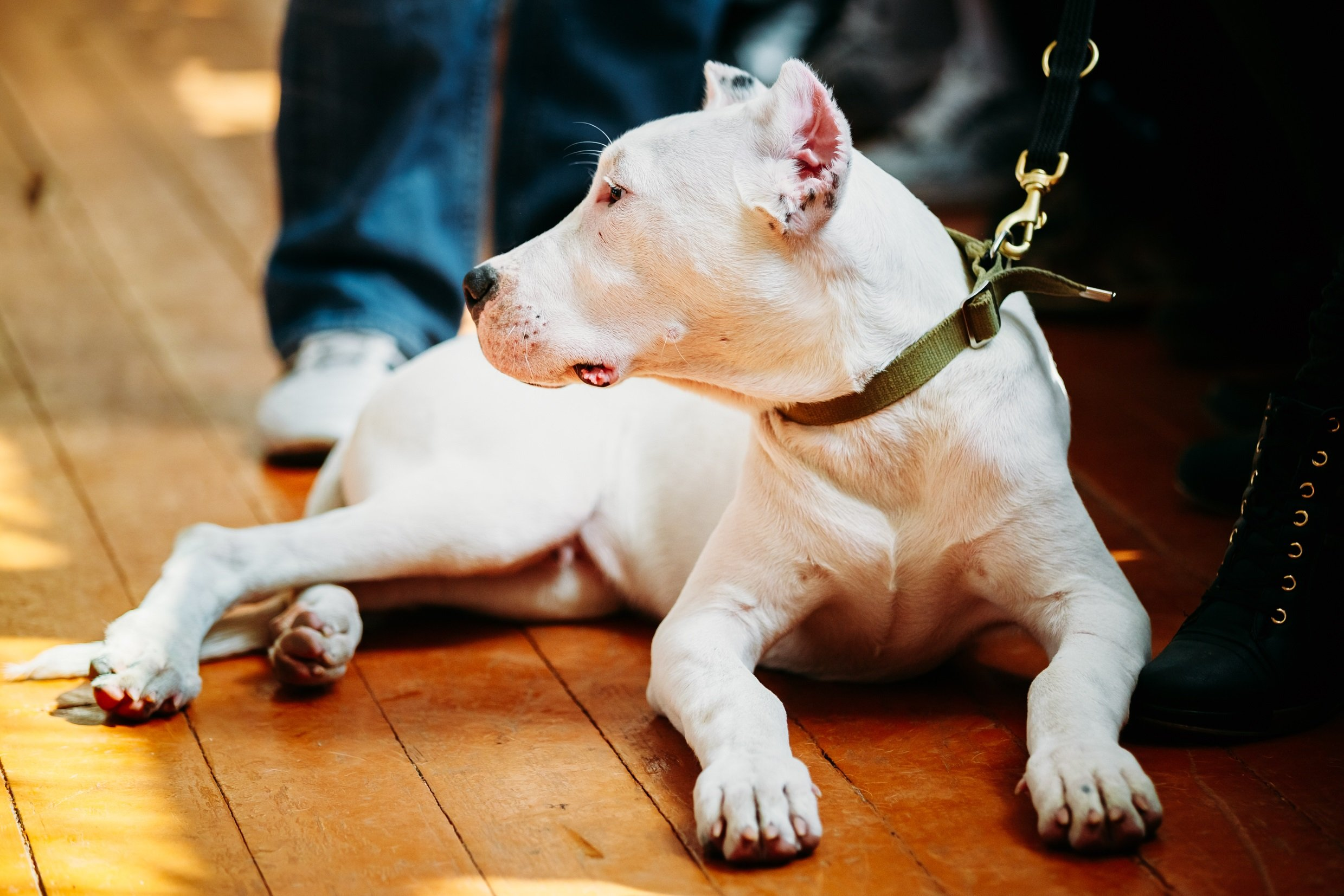 Dogo Argentino Breed Pictures