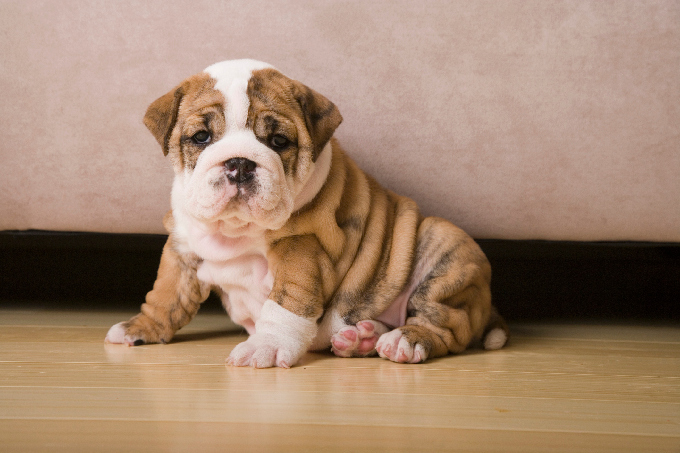 British Bull Dog Pup For Sale