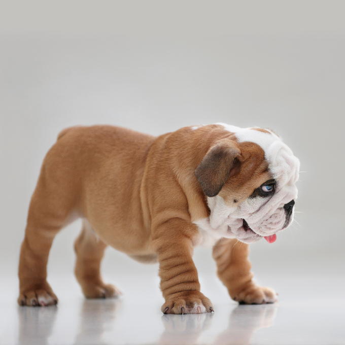 free english bulldog puppies english bulldog puppies dogtime 626