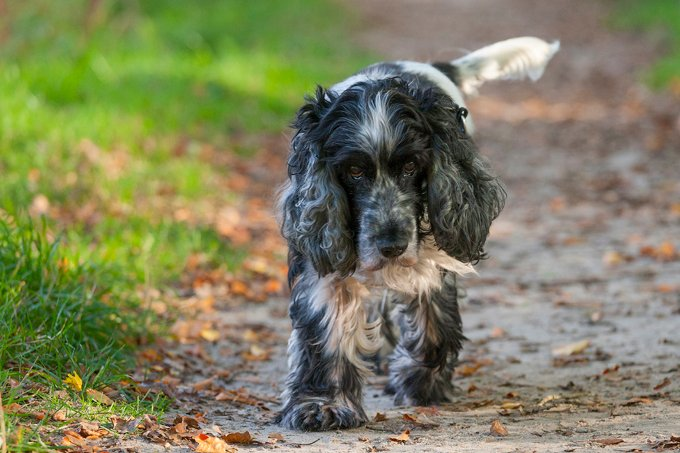 English Cocker Spaniel Dog Breed Information Pictures
