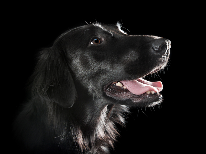 Flat Coated Retriever Dogs And Puppies