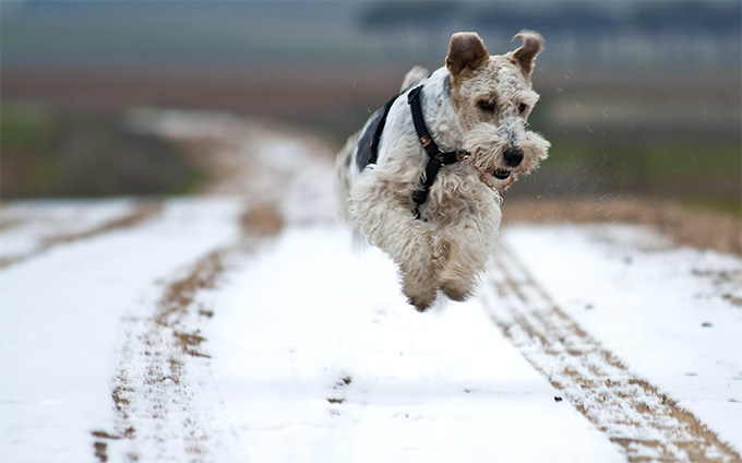 Fox Terrier Dog Breed Picture