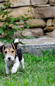 Fox Terrier Dog Breed Information, Pictures, Characteristics ...