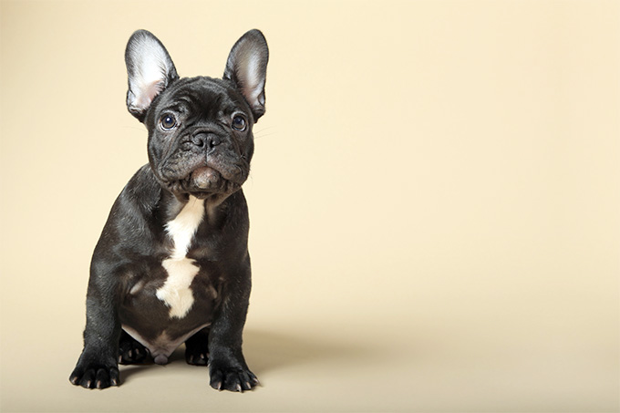 How much water should a french bulldog drink