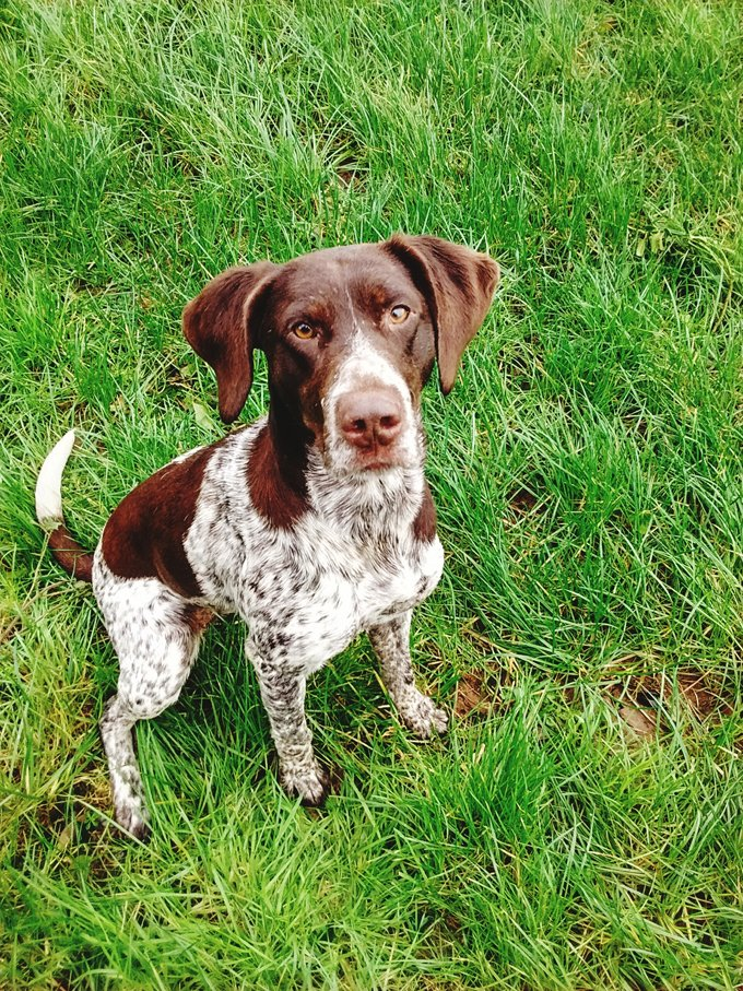 German Shorthaired Pointer Dog Breed Information Pictures