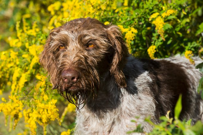 German Wirehaired Pointer Dog Breed Information, Pictures ...