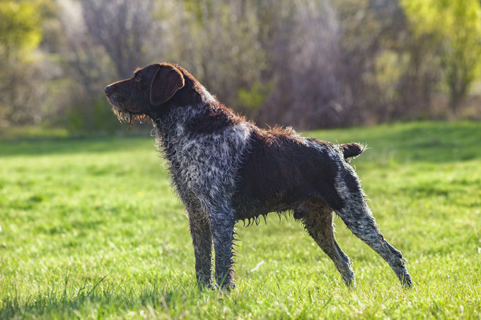 Black German Shorthaired Pointer Mix