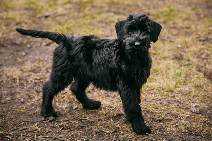 giant schnauzer dog breed information pictures characteristics