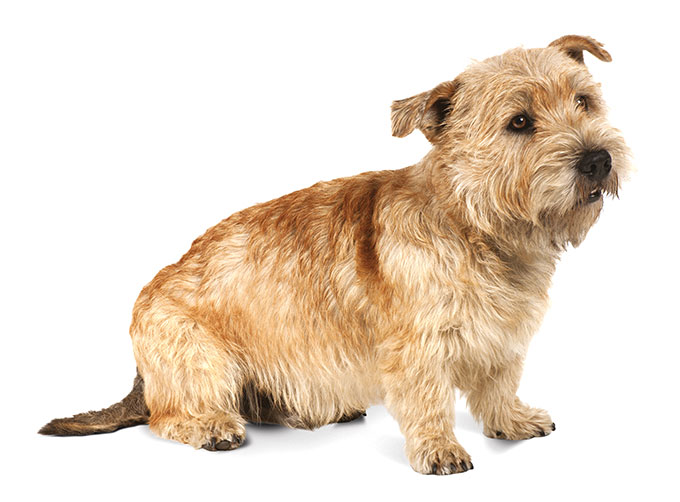 Glen of imaal terrier dog breed information pictures the glen of imaal terrier is a strong independent dog breed named for the remote valley in ireland where he originated bred to hunt fox and badger thecheapjerseys