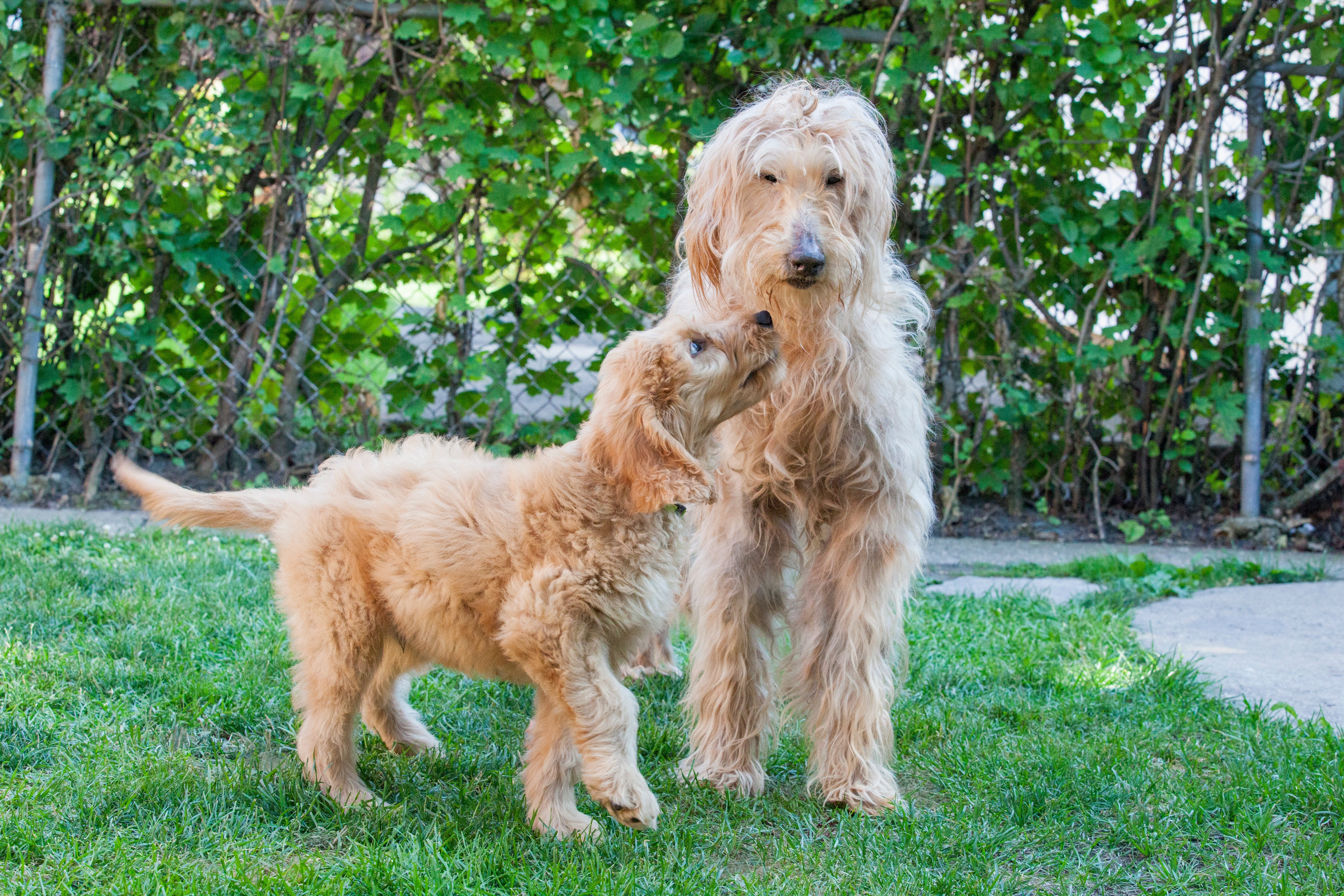 Goldendoodle Puppies: Pictures And Facts - Dogtime