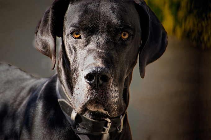 great dane dog breed information pictures characteristics facts