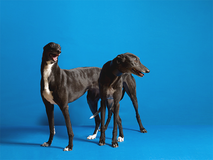 Greyhound Dog Breed Information, Pictures, Characteristics & Facts ...