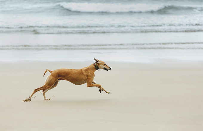 Greyhound Dog Breed Picture