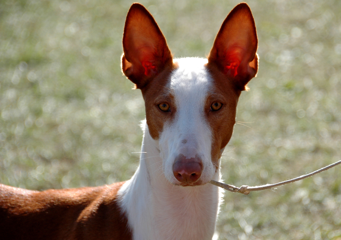 Ibizan Hound Dogs And Puppies